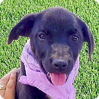 Adopt A Pet :: Anokie cuddler - Sacramento, CA
