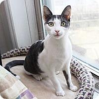 Adopt A Pet :: Curious Kitten Junior! - Brooklyn, NY