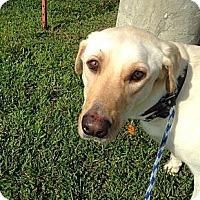 Adopt A Pet :: *Kady - PENDING - Westport, CT