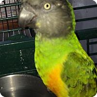 Adopt A Pet :: Preacher - Punta Gorda, FL