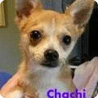Adopt A Pet :: Chachi - House Springs, MO