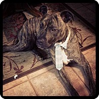American Staffordshire Terrier Mix Dog for adoption in Valencia, California - Tiger