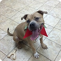 Pit Bull Terrier Mix Dog for adoption in levittown, New York - Duarde