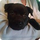 Adopt A Pet :: Lil Chi Chi