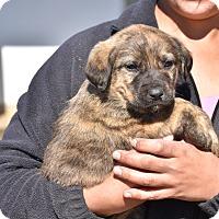 Adopt A Pet :: Sippi - Groton, MA