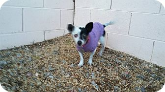 Chihuahua Dog for adoption in Henderson, Nevada - Freckles