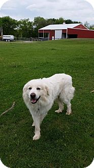 Great Pyrenees Dog for adoption in Whitewright, Texas - Audie Murphy