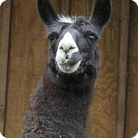 Adopt A Pet :: Rosie - Quilcene, WA