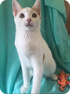 Domestic Shorthair Kitten for adoption in Bloomsburg, Pennsylvania - Andy