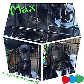Dachshund Mix Dog for adoption in joliet, Illinois - MAX