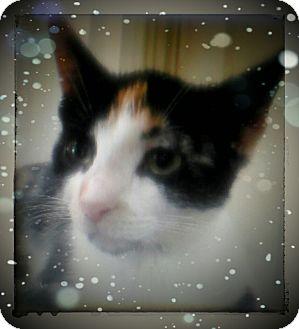 Calico Kitten for adoption in Trevose, Pennsylvania - Kelly