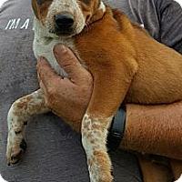 Adopt A Pet :: Josh - Ararat, VA