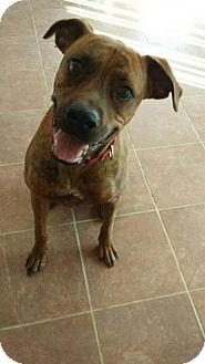 Boxer/Great Dane Mix Dog for adoption in Olympia, Washington - Duke