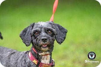 Lhasa Apso Mix Dog for adoption in Princeton, Minnesota - Bailey