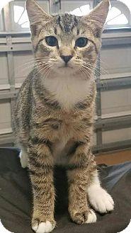 Domestic Shorthair Kitten for adoption in Wilmington, North Carolina - Pelle