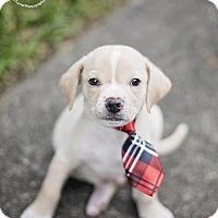 Golden Retriever/Shar Pei Mix Puppy for adoption in Seattle, Washington - BENJAMIN - watch my VIDEO