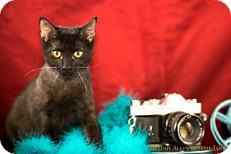 Domestic Shorthair Cat for adoption in Scarborough, Maine - Grizabella