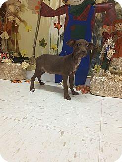 Chihuahua/Dachshund Mix Dog for adoption in New York, New York - Chica