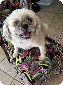 Shih Tzu Mix Dog for adoption in Mesa, Arizona - Shadow – 7 year Shih Tzu Pug M