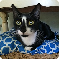 Domestic Shorthair Cat for adoption in Tampa, Florida - Tassy