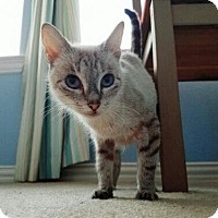 Siamese Cat for adoption in McKinney, Texas - Bella