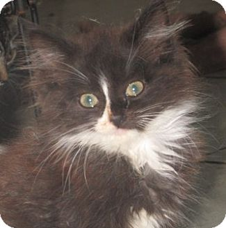 Maine Coon Kitten for adoption in Germantown, Maryland - Kit