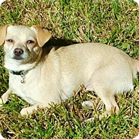 Chihuahua Mix Dog for adoption in Houston, Texas - Althea
