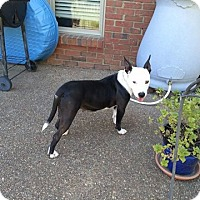 American Pit Bull Terrier/American Staffordshire Terrier Mix Dog for adoption in Covington, Tennessee - Dora
