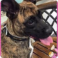 Boxer/German Shepherd Dog Mix Dog for adoption in Duart, Ontario - Sasha