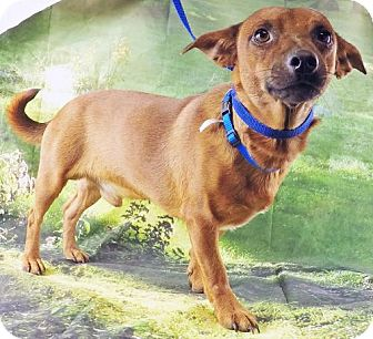 Jack Russell Terrier/Miniature Pinscher Mix Dog for adoption in Griffin, Georgia - Rusty-VIDEO!