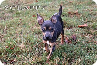 Miniature Pinscher/Chihuahua Mix Dog for adoption in Texarkana, Arkansas - Scrappy