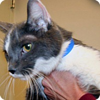 Domestic Shorthair Cat for adoption in Wildomar, California - Oscar