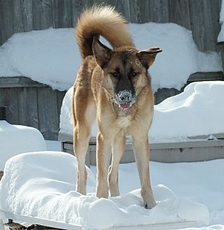 Anatolian Shepherd/German Shepherd Dog Mix Dog for adoption in Minneapolis, Minnesota - Paisley