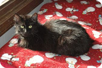 Domestic Longhair Cat for adoption in Grand Rapids, Michigan - Jackie