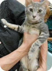 Domestic Shorthair Cat for adoption in Reston, Virginia - Eric