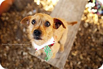 Terrier (Unknown Type, Small) Mix Dog for adoption in Houston, Texas - Buddy