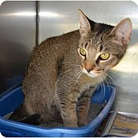 Adopt A Pet :: Iggy - Dallas, TX