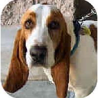 Adopt A Pet :: Zeus - Phoenix, AZ