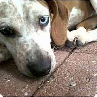 Adopt A Pet :: Dixie - Alexandria, VA