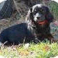 Adopt A Pet :: Boots - Staunton, VA