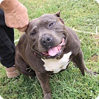 Adopt A Pet :: ChaChi-Girl- I am a LOVE! - Bellflower, CA
