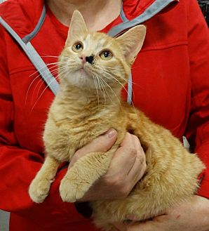 Domestic Shorthair Cat for adoption in Harrisburg, North Carolina - Honey West