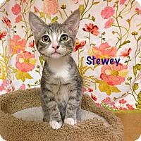 Adopt A Pet :: Stewey - Foothill Ranch, CA