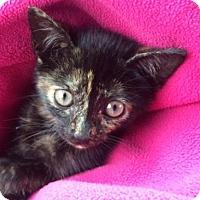 Adopt A Pet :: Gizmo - Murfreesboro, NC