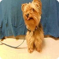 Adopt A Pet :: CUPCAKE - Upper Marlboro, MD