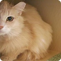 Domestic Longhair Cat for adoption in Bellevue, Washington - Pippa