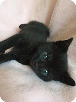 Domestic Shorthair Kitten for adoption in Union, Kentucky - Little Debbie