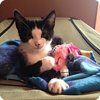Domestic Shorthair Kitten for adoption in Knoxville, Tennessee - Jax