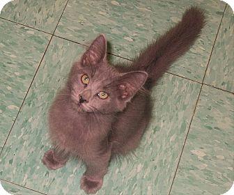 Domestic Longhair Kitten for adoption in Mohawk, New York - Chip