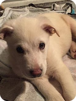 Siberian Husky Mix Puppy for adoption in Shingleton, Michigan - Eyeore